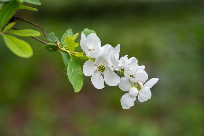 Exochorda Racemosa Pearlbush Flower. Exochorda racemosa Pearlbush blooming flower, rose family: Rosaceae, region: China and Japan royalty free stock photos