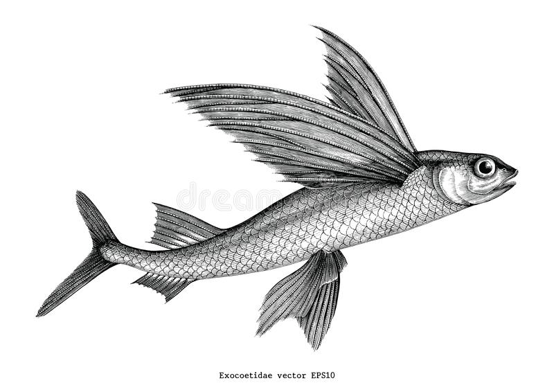 Exocoetidae or Flying fish hand drawing vintage engraving illustration stock illustration
