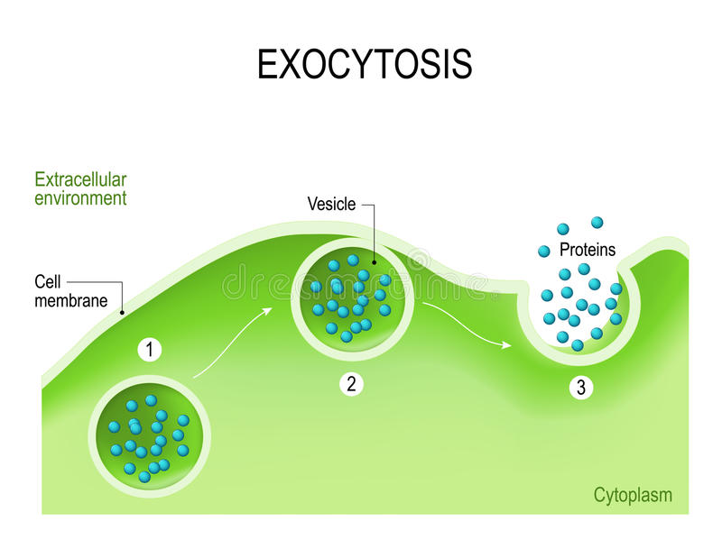 Exocytosis ilustracji