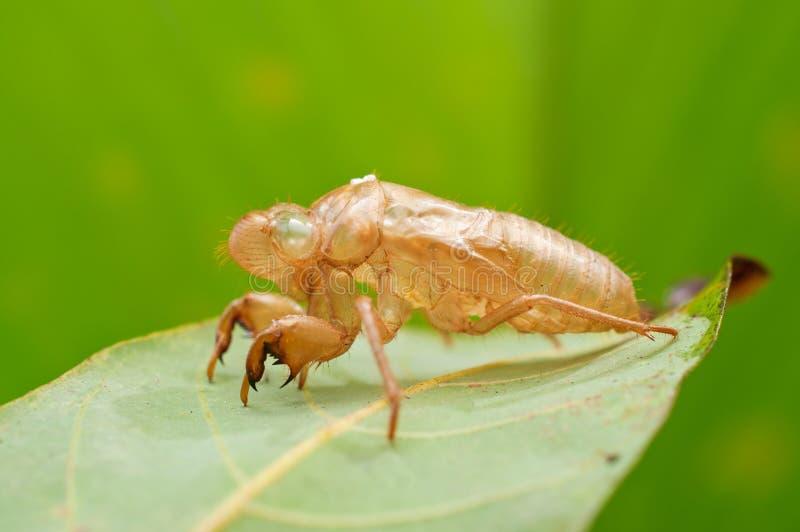 Exoskeleton van de cicade stock foto's