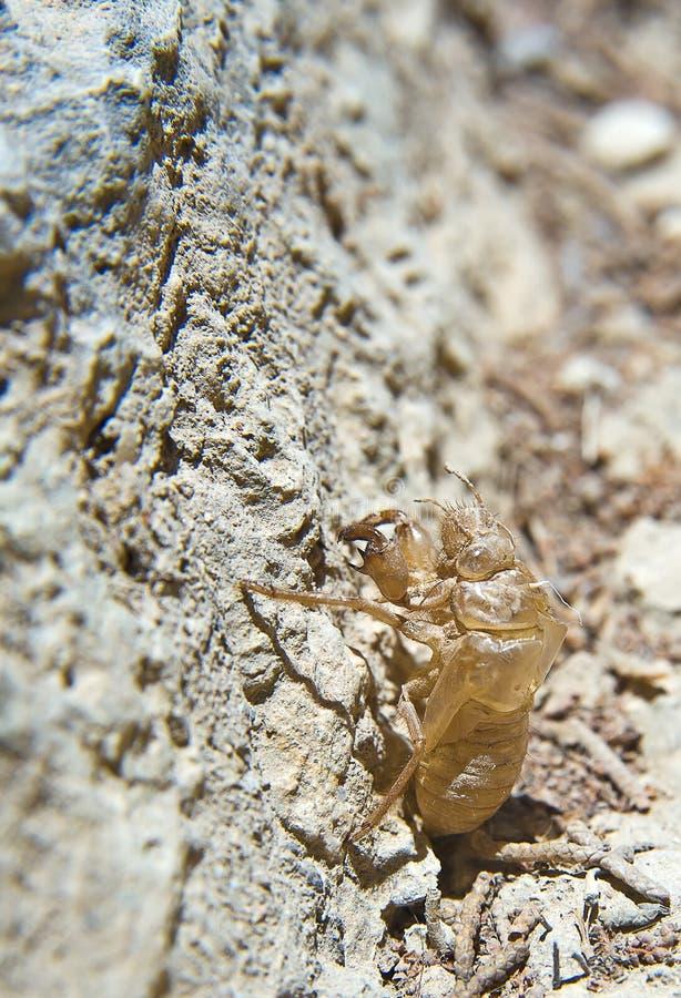 Exoskeleton van de cicade stock fotografie