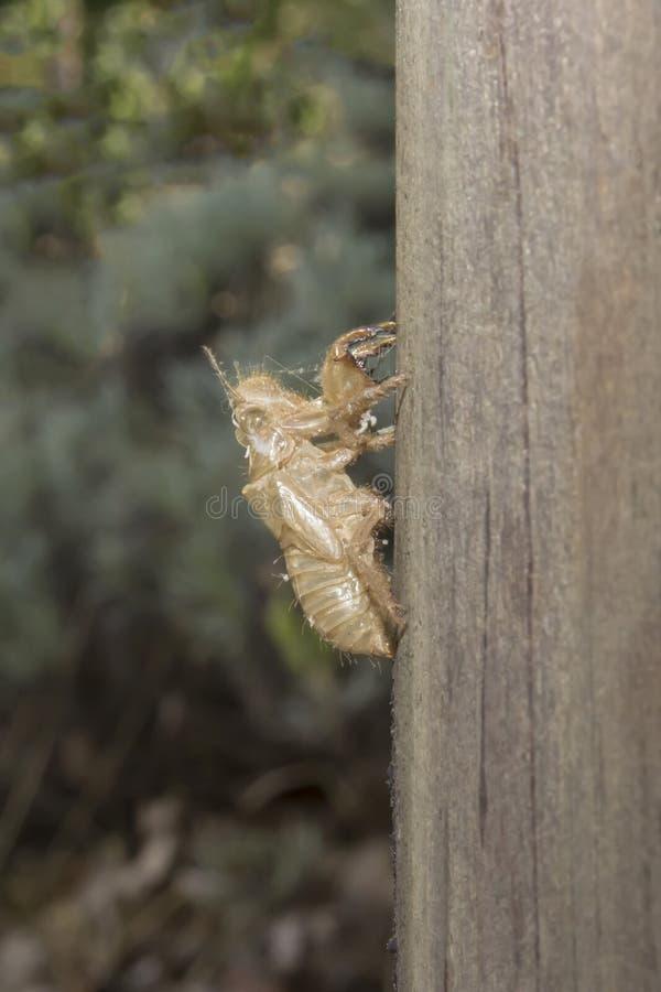 Exoskeleton van een cicade, de zomer in het zuiden van Frankrijk royalty-vrije stock fotografie