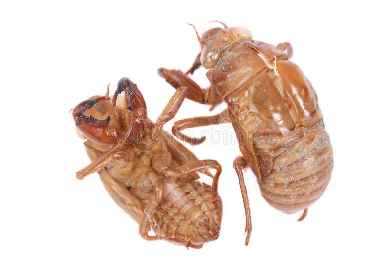Exoskeleton van het cicadeinsect stock foto