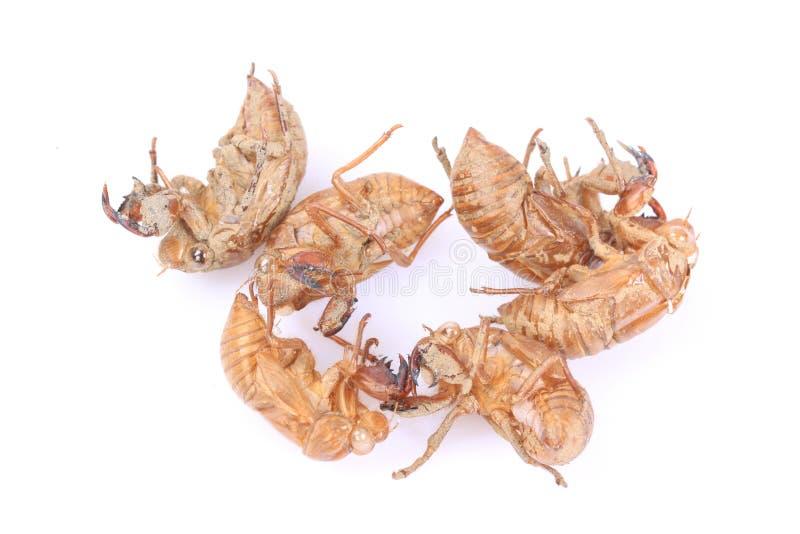 Exoskeleton van het cicadeinsect royalty-vrije stock afbeelding