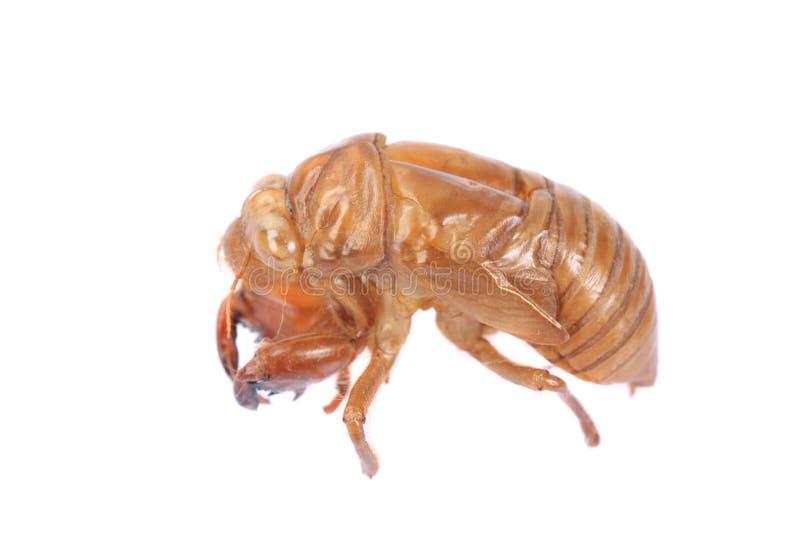Exoskeleton van het cicadeinsect royalty-vrije stock afbeeldingen