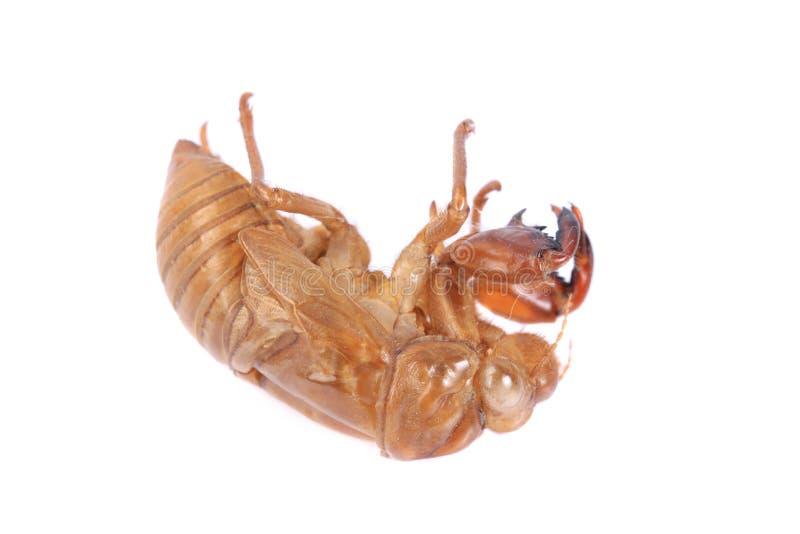 Exoskeleton van het cicadeinsect stock afbeelding