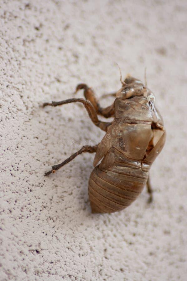 Exosquelette de mue d'insecte de cigale sur le mur blanc photo stock