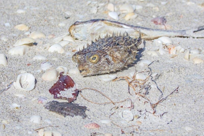 Exosquelette de poissons de décolleur sur la plage photo libre de droits
