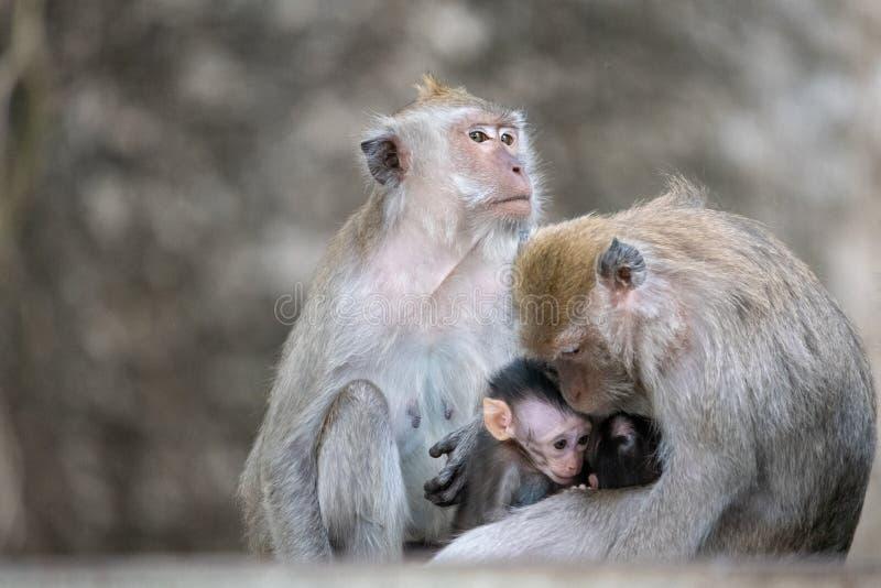 Exotic asian animals. Cute monkeys family stock photo