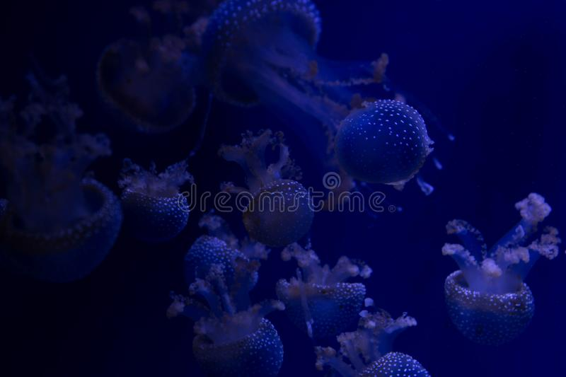 Exotic beautiful jellyfish black and white photo for text. Exotic beautiful jellyfish floating in the ocean photo for text, underwater world, life under water royalty free stock image