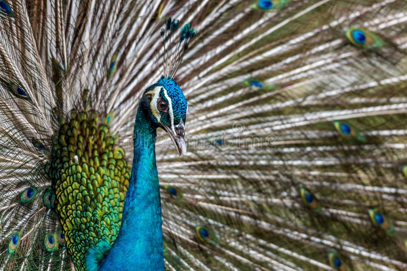 The Exotic Male Peacock with his stunning feather. The Exotic beautiful Male Peacock showing his stunning feather stock images