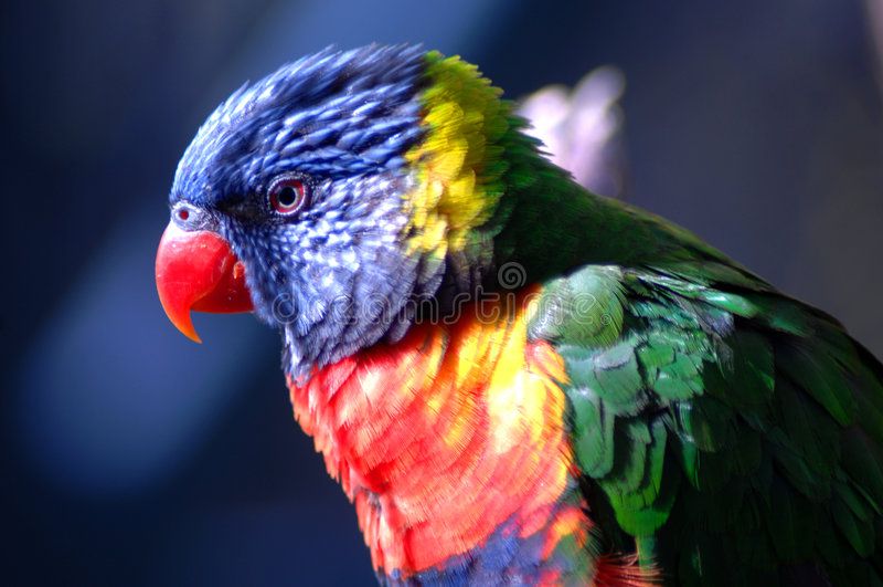 Exotic Bird 4 stock photography