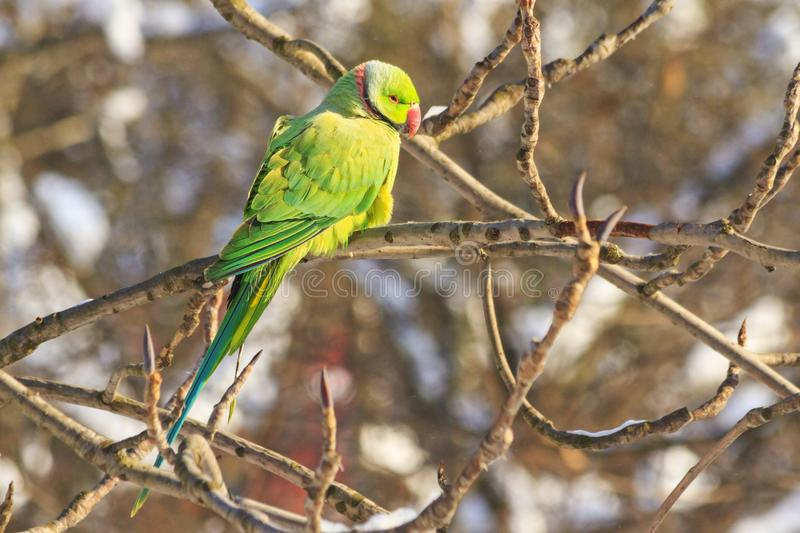 Exotic bird in frosty day, parrot fugitive. Wildlife, winter survival, cold and frost stock photo