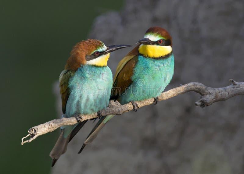 Download Exotic bird love stock photo. Image of close, garden - 20606220