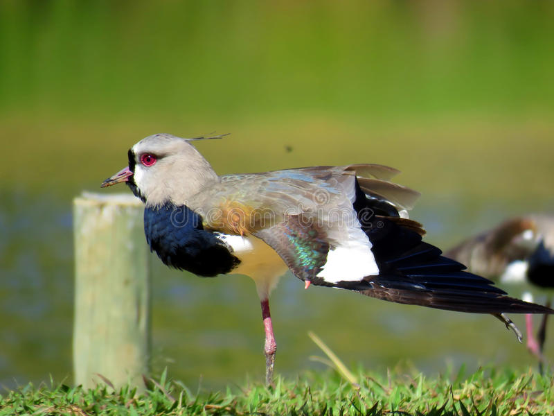 Colorful bird. Vanellus chilensis stock photography