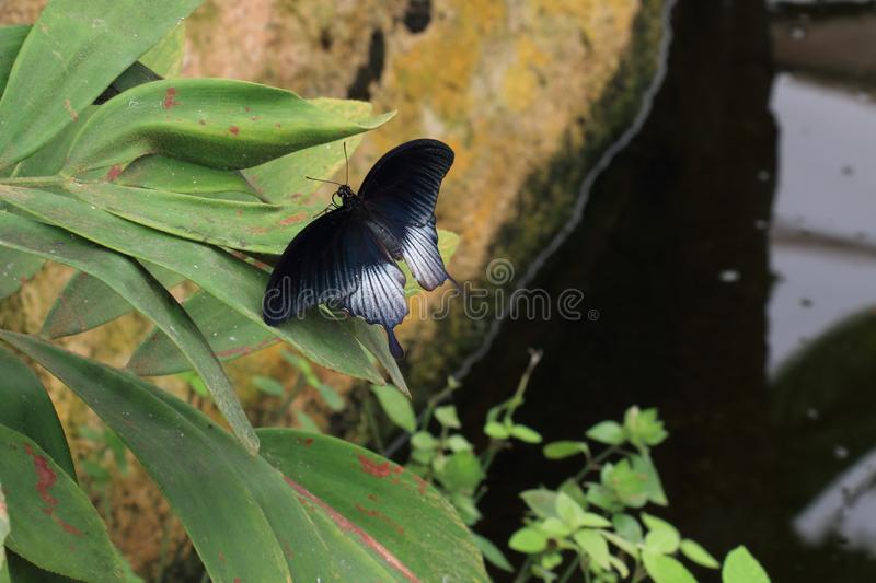 Black butterfly next to a pond stock photos