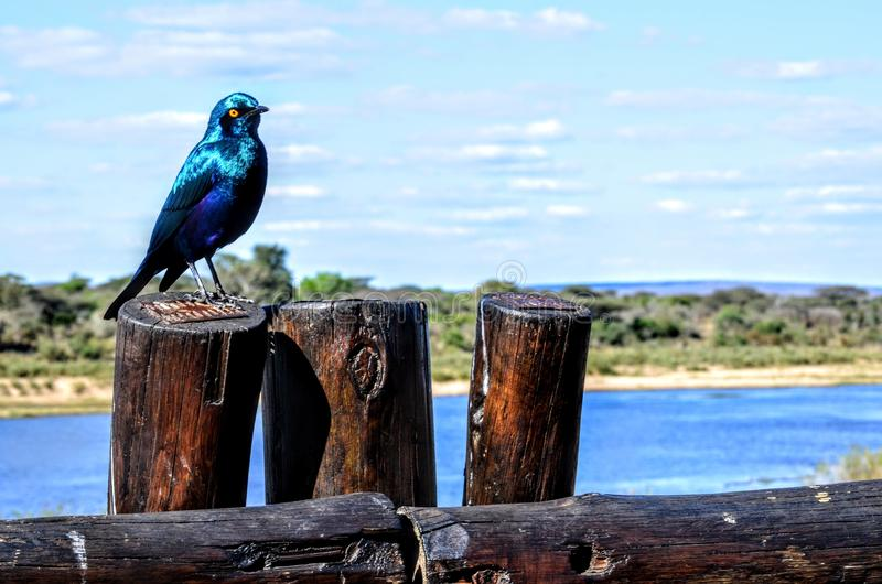 Exotic Blue bird. In kruer park South Africa starling stock photography
