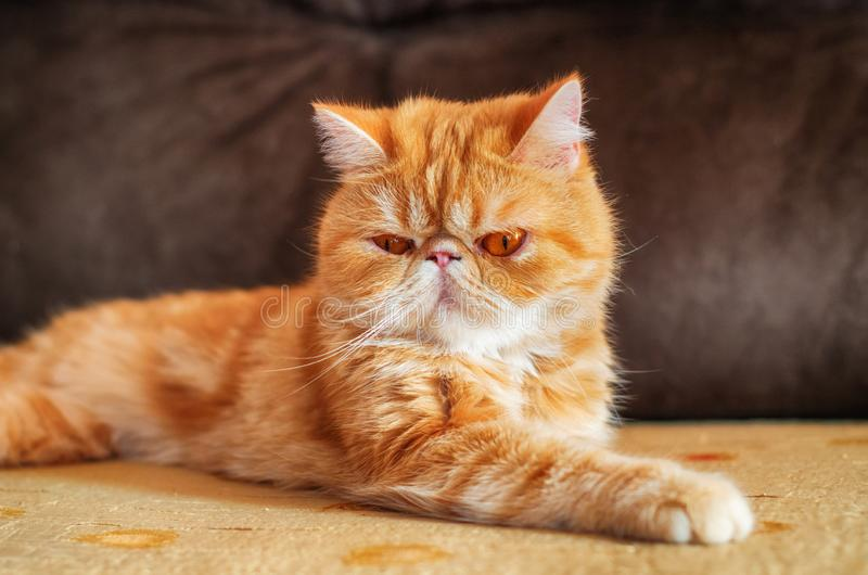 Exotic breed cat on the sofa in the room. 2. Exotic breed cat on the sofa in the room.  Indoors. Portrait.  Horizontal format.  Color.  Photo stock image