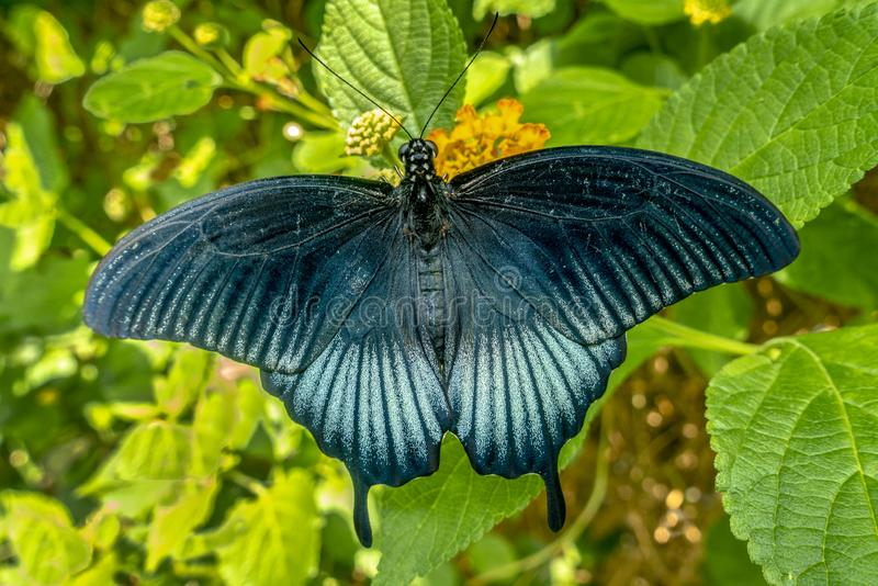 An exotic butterfly resting on a leaf.Close up.Detai. stock photos