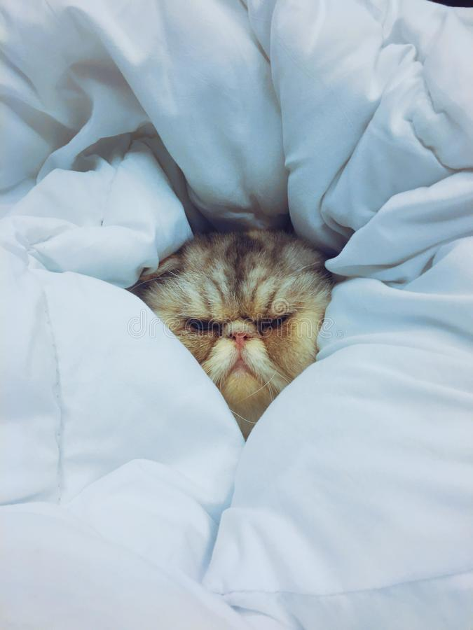 An exotic cat sleeping in a blanket. Its soft and wrapped. royalty free stock image