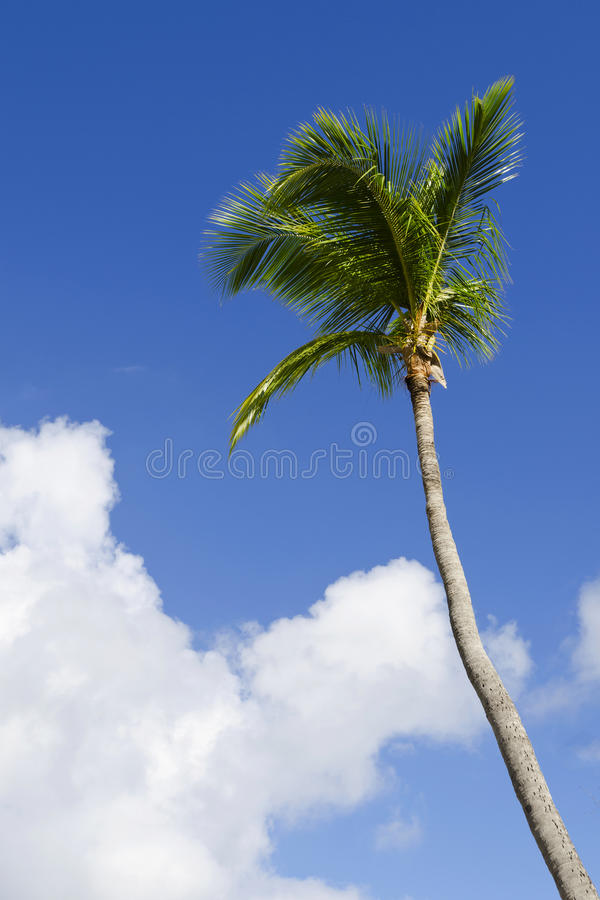 Exotic Coconut Palm Tree Royalty Free Stock Images