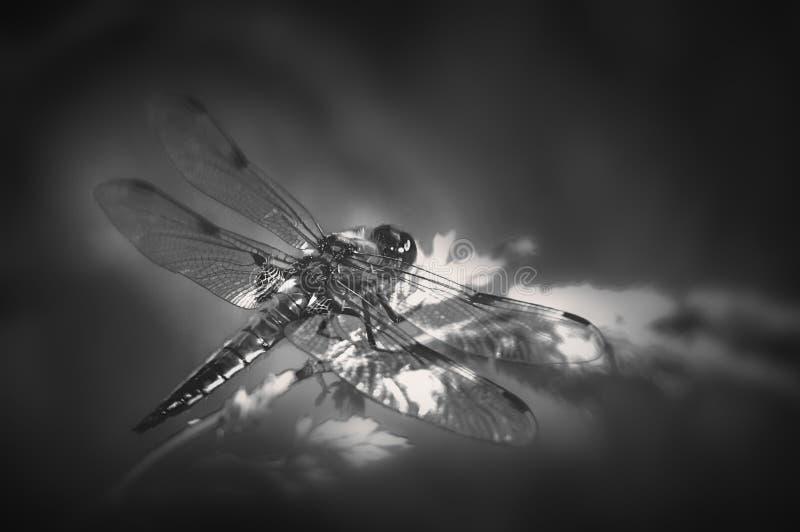 Exotic dragonfly bw stock image
