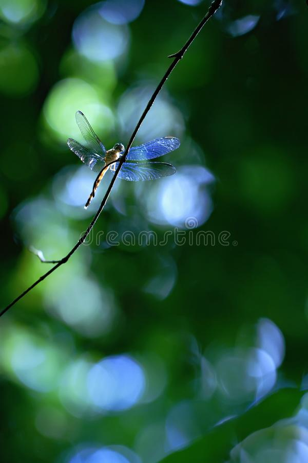 Exotic dragonfly sitting on plant in tropical rain forest in Costa Rica, exotic adventure, dragonfly resting in jungle royalty free stock photography