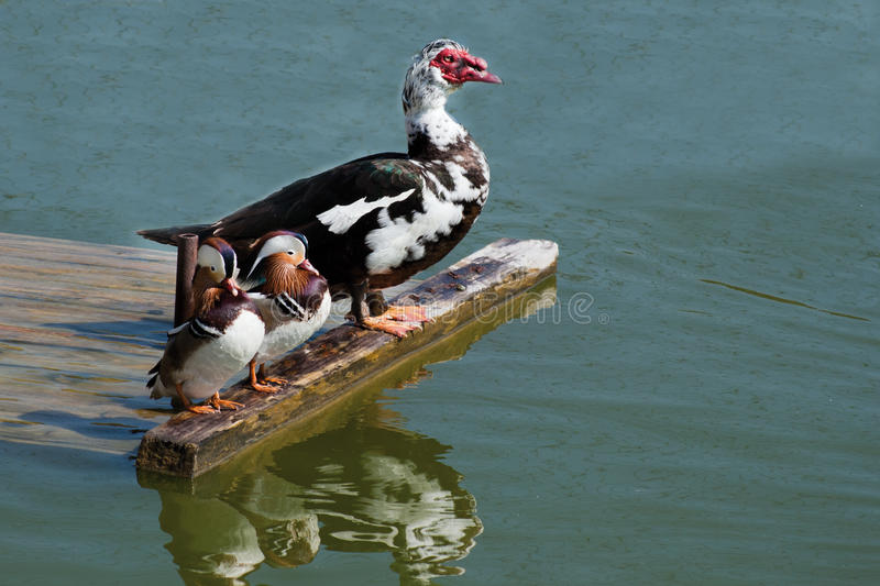 Download Exotic Ducks On The Riverside Stock Photo - Image: 19708050