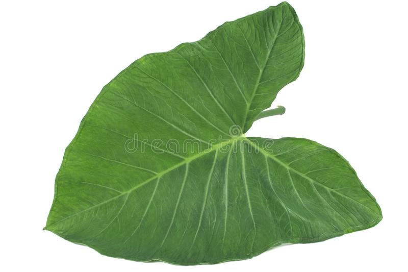 Exotic edible plant leaf Xanthosoma sagittifolium called taioba in Brazil. In white background royalty free stock photography