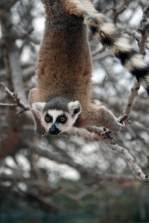 Exotic endangered animal hanging upside down - Lem royalty free stock photography