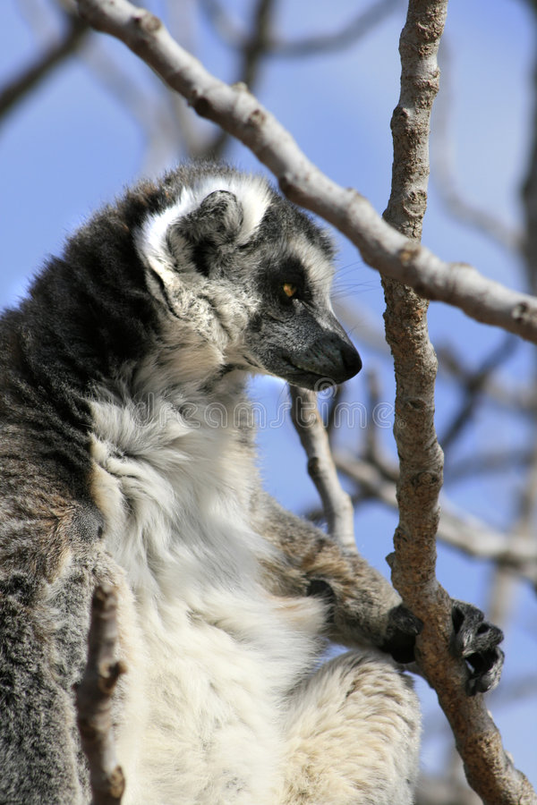 Download Exotic Endangered Animal - Lemur Stock Photo - Image of cute, nose: 4526392