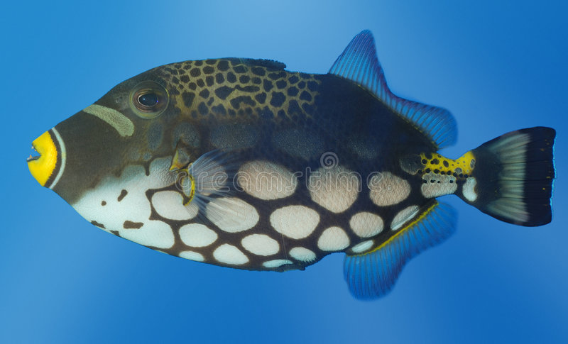 Exotic Fish Royalty Free Stock Image