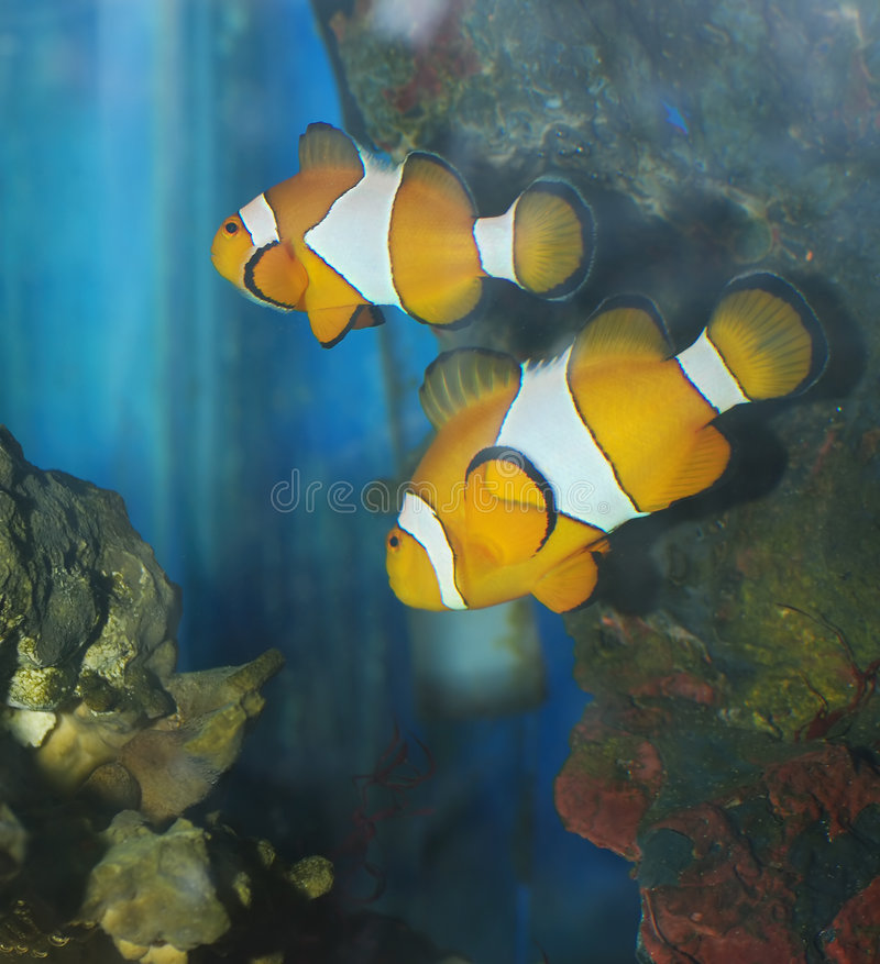 Download Exotic fish stock image. Image of clown, colored, animal - 5208405