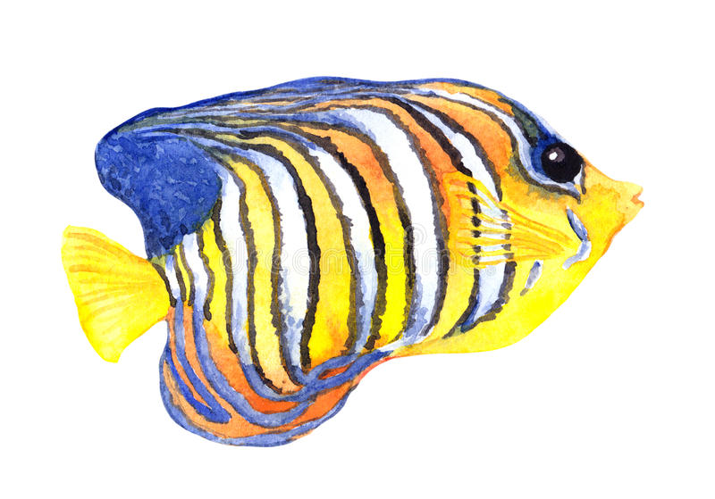 Exotic fish - angelfish. Watercolour. Exotic fish - tropical angelfish. Watercolor sea animal stock photography