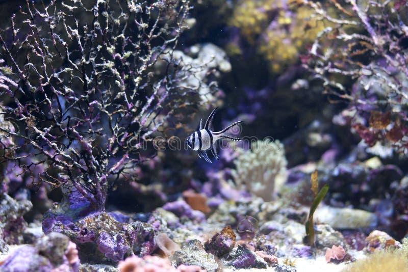 Exotic fish in colorful aquarium stock image
