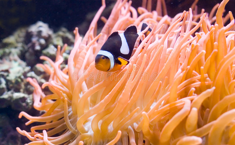 Download Exotic fish e stock image. Image of beautiful, coral, freshwater - 2753773