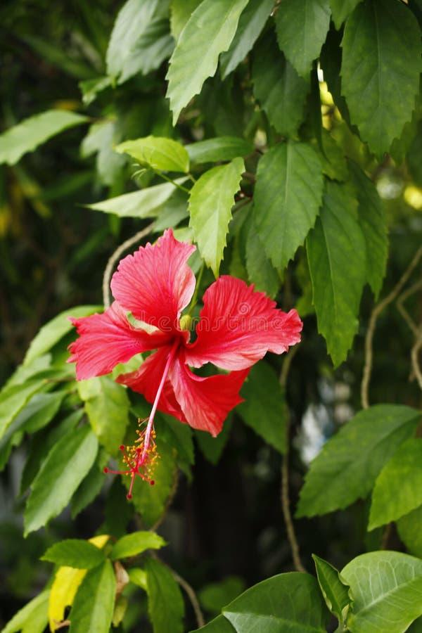 Exotic flower on the Maldives resort island royalty free stock image
