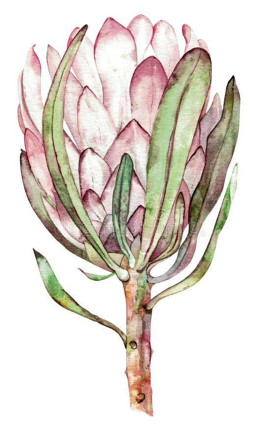 Exotic flower. Watercolor protea. Hand drawn illustration. royalty free illustration