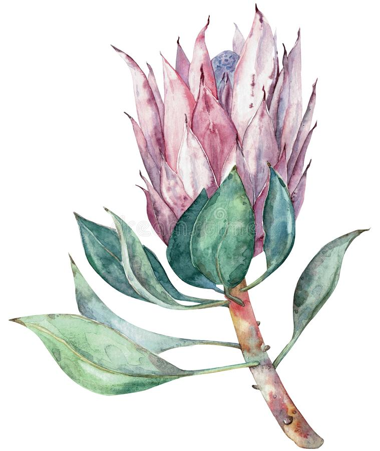 Exotic flower. Watercolor protea. Hand drawn illustration. stock illustration