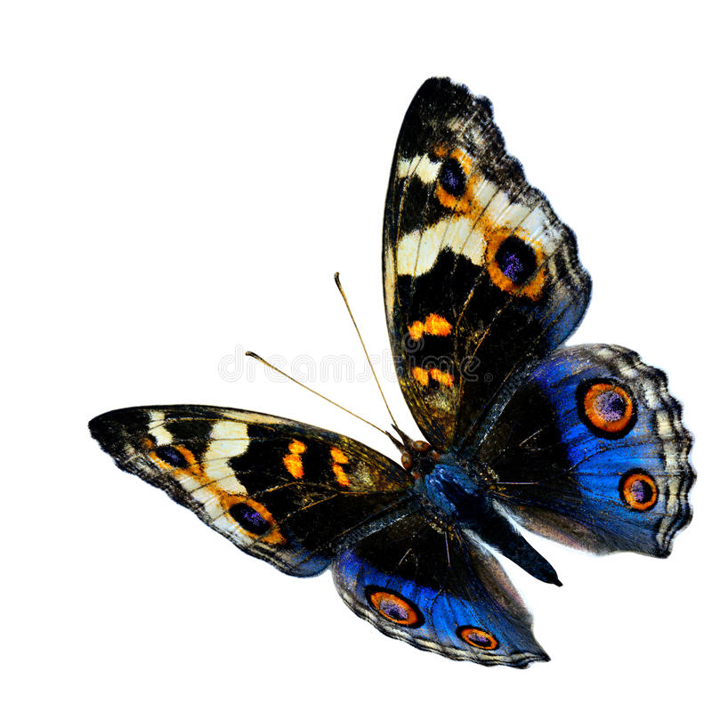 Free Exotic Flying Blue Butterfly, The Blue Pansy Butterfly Isolated Royalty Free Stock Image - 71555576