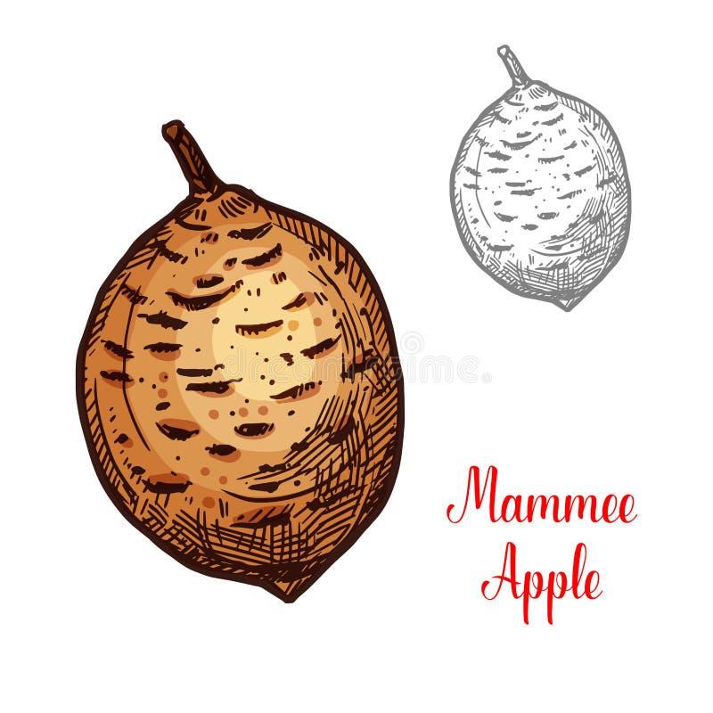 Exotic fruit Mammee apple stock illustration
