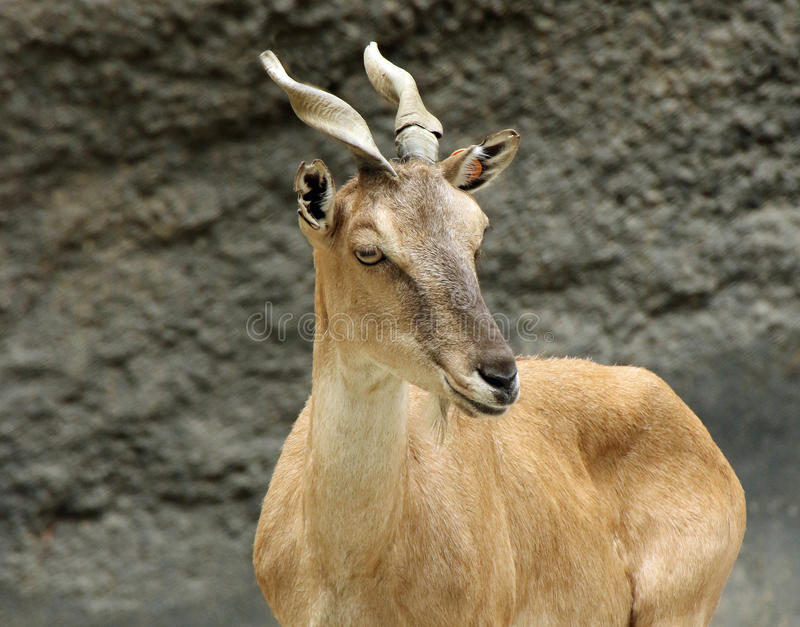 Exotic Goat royalty free stock photography