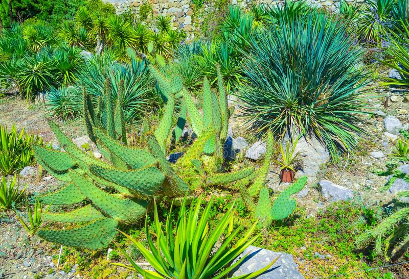 Download Exotic Green Cactus And Yucca Plants Grow In Flower Pots In A  Garden. Stock