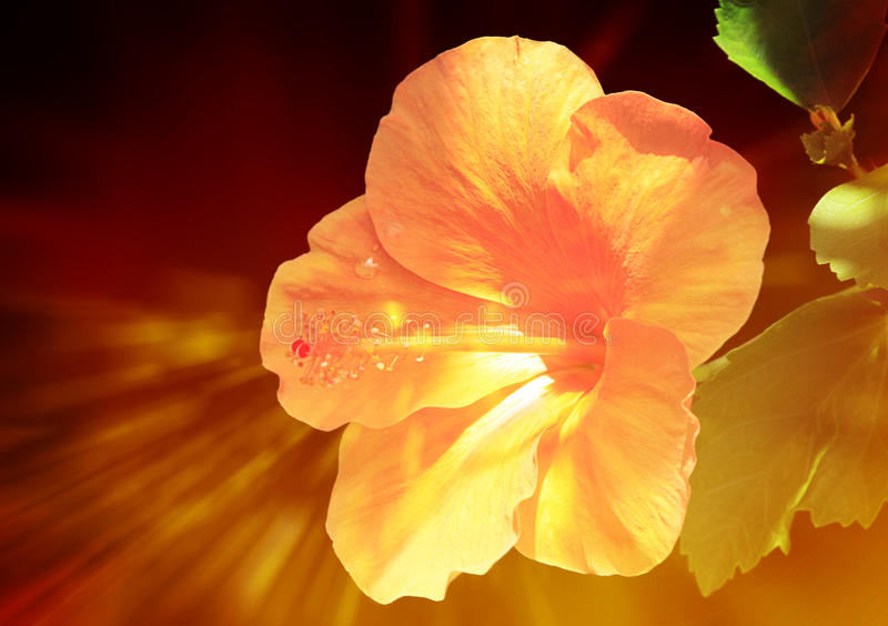 Exotic hibiscus stock photo