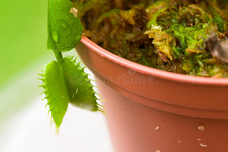 Exotic insect-eating predator flower Venus flytrap dionaea planted over a clay plantpot, in a blurred background royalty free stock images