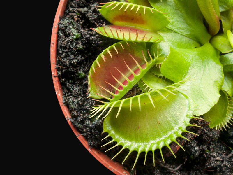 Exotic insect-eating predator flower Venus flytrap isolated on b royalty free stock photography