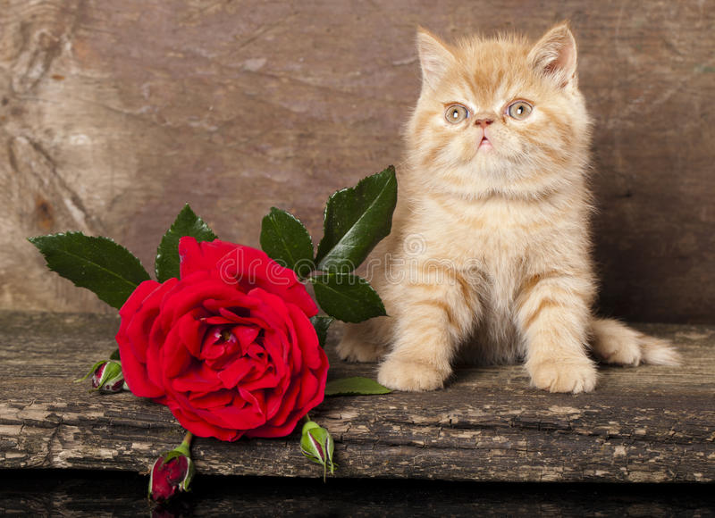Exotic kitten royalty free stock photography