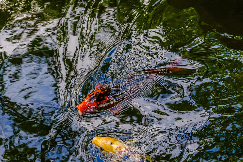 Exotic koi fishes in pond stock photos