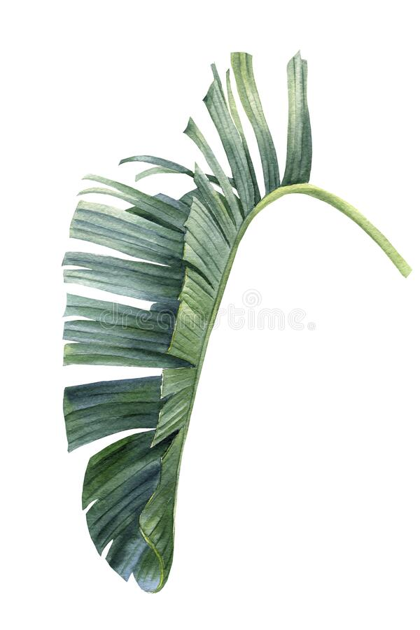 Free Exotic Leaf Of Palm Tree, African Strelitzia On Isolated White Background, Watercolor Botanical Illustration Stock Photography - 191395232