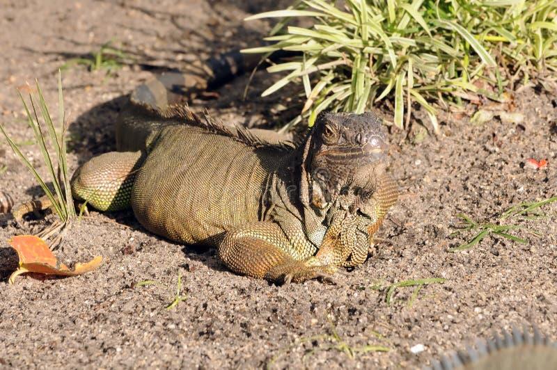 Download Exotic lizard stock image. Image of antural, nature, reptile - 31232069